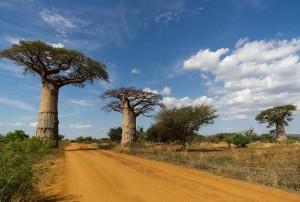 Le baobab sauvage qui produit cette poudre de pulpe biologique tant appréciée.