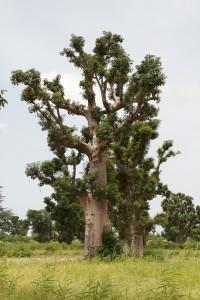 Le baobab du Sénégal Adansonia digitata qui produit la pain de singe bio