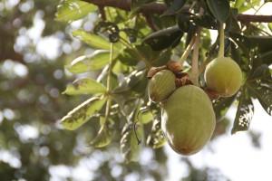 Le fruit du baobab ou pain de singe riche en antioxydant naturel puissant