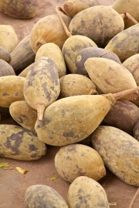 Les fruits de baobab bio ou pain de singe produit par l'Adansonia digitata