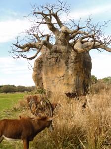 Le baobab africain arbre de vie