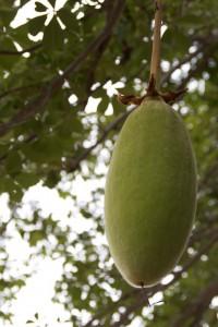 Le fruit du Baobab biologique