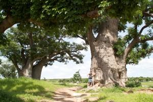 La baobab Adansonia digitata qui produit la pain de singe