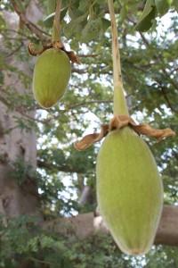 Le fruit de baobab bio ou pain de singe bio Adansonia digitata