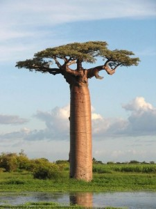 Le Baobab donne un fruit riche en antioxydant naturel puissant