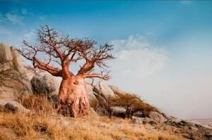 Le baobab l'arbre emblématique de l'Afrique