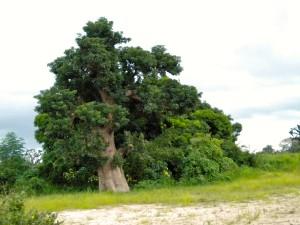 L'arbre baobab Adansonia digitata qui produit le pain de singe bio