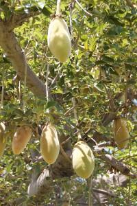Le fruit du baobab ou pain de singe sur l'arbre ( Adansonia digitata)