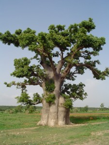 Le baobab sauvage Adansonia digitata