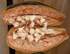 Le fuit du baobab bio aussi appelé bouye ou pain de singe